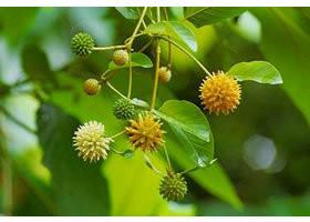 Kratom flower